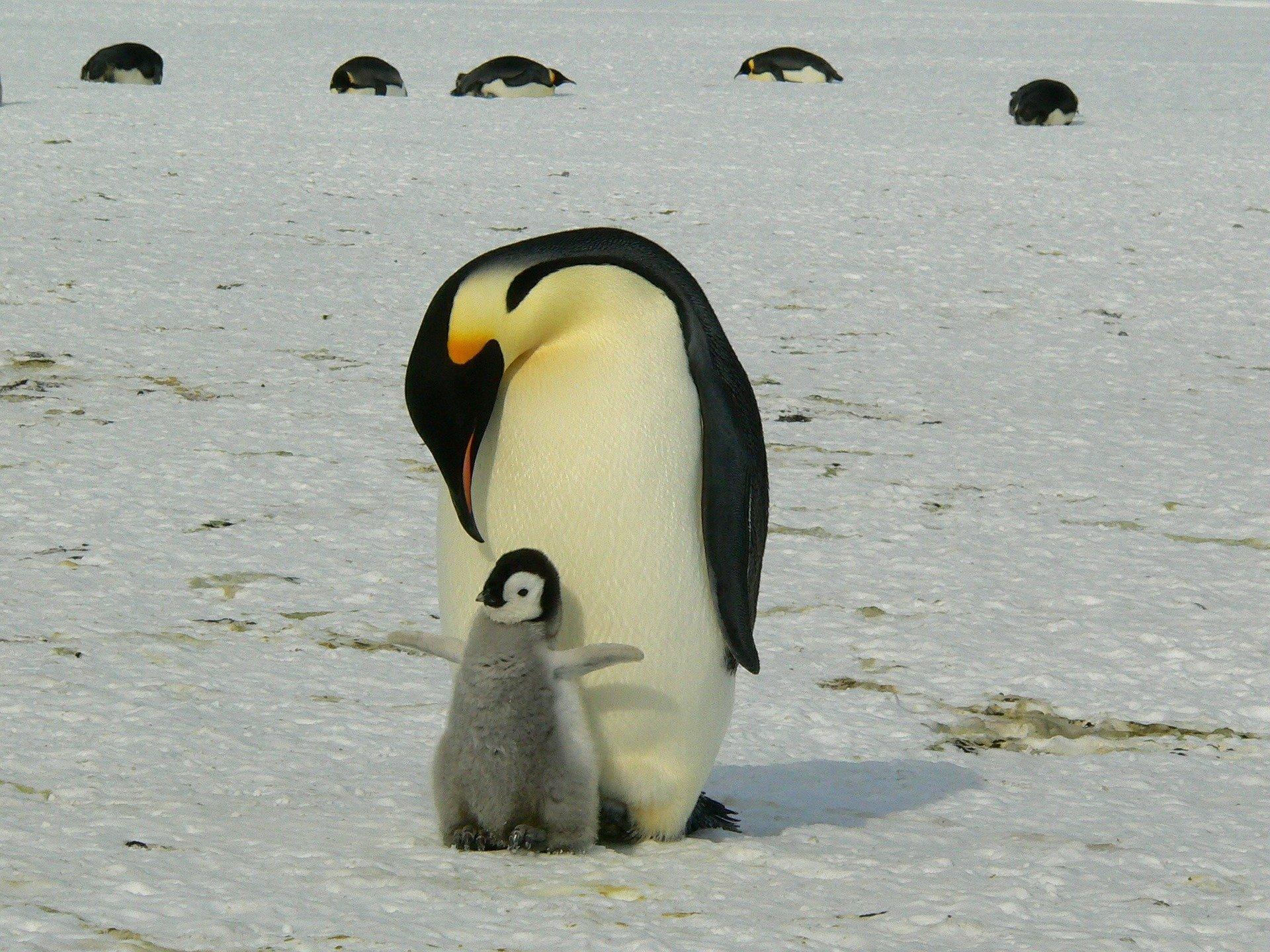 penguins-429134_1920